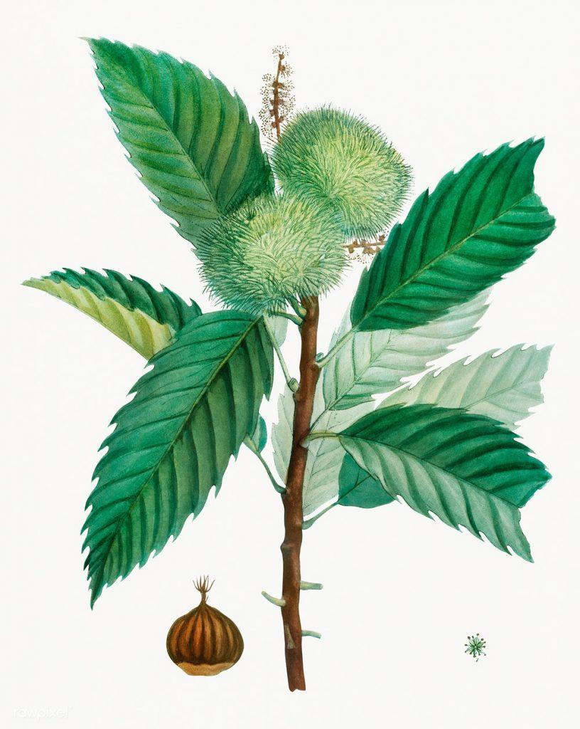 Sweet chestnut tree